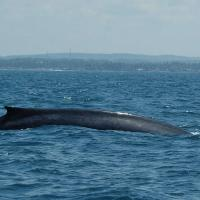 Whale Watching Sri Lanka 7