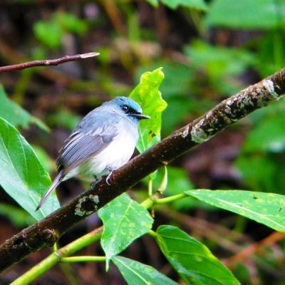 Sri Lanka Dull Blue Flycatcher