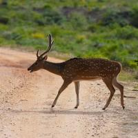 Ceylon_spotted_deer