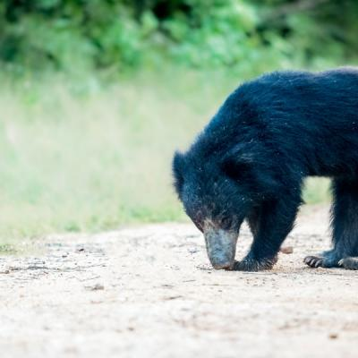 Sloth Bear Yala