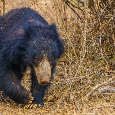 Sloth Bear2 Yala